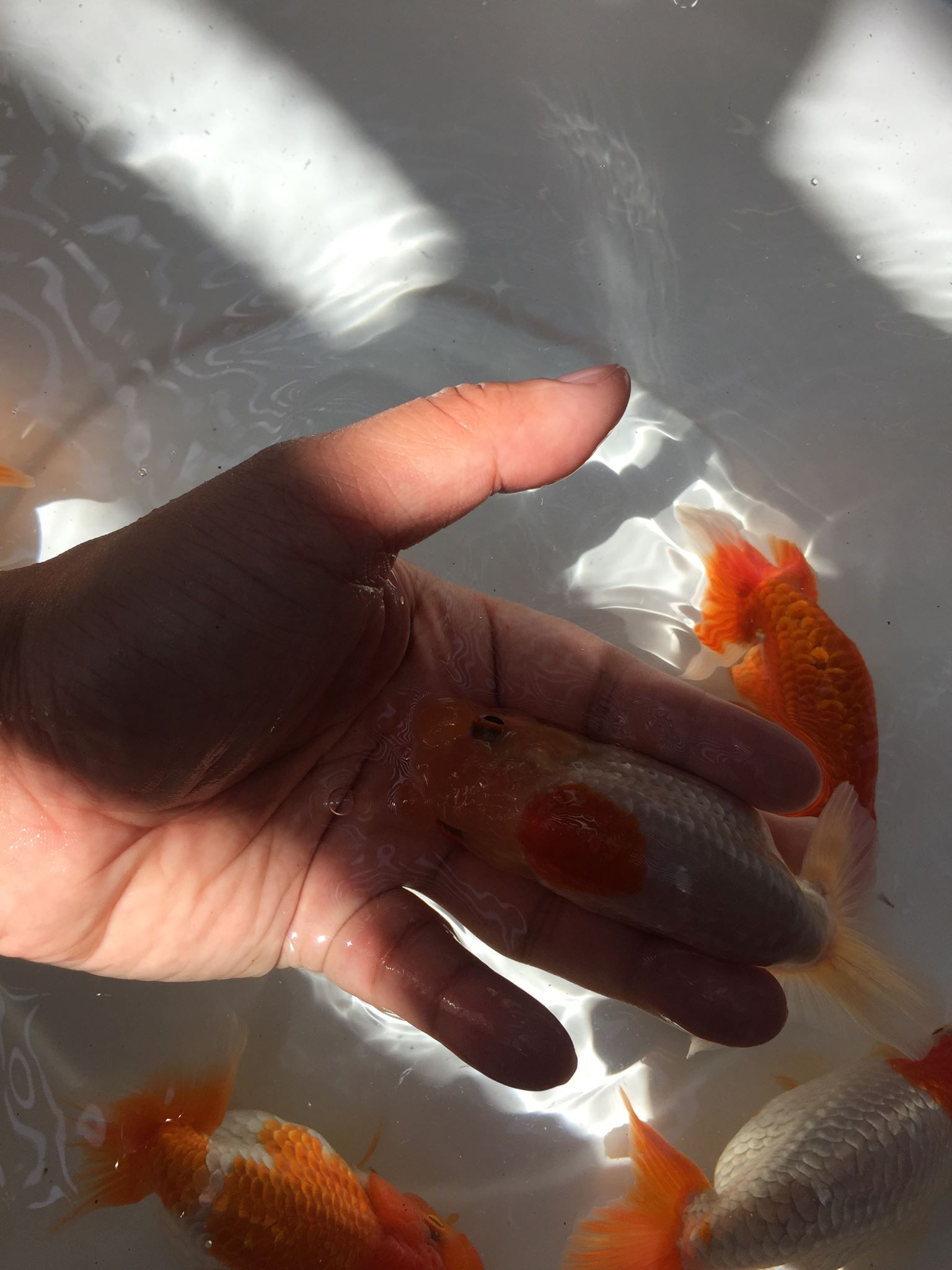 Some new stock  Top view Ranchu Japanese line for
